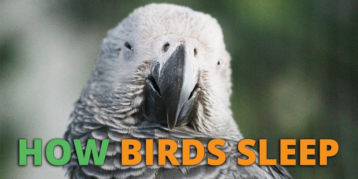 How Do Birds Sleep?
