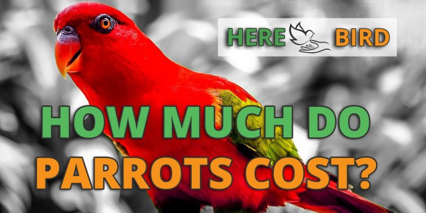 how much do parrots cost