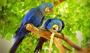 hyacinth-macaw-3