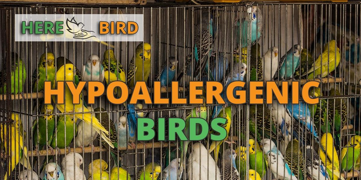 hypoallergenic-birds