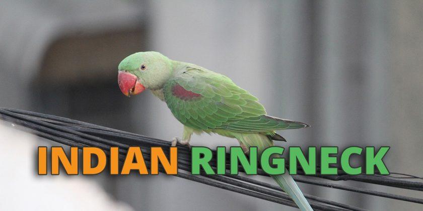 indian ringneck