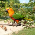 jenday conure lifespan