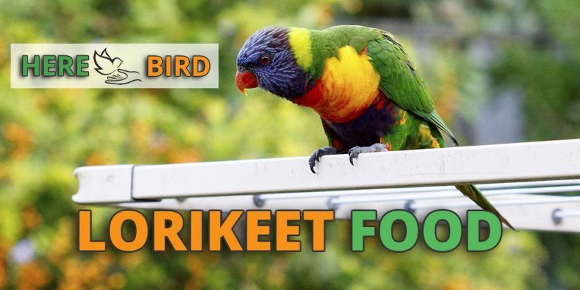 lorikeet-food
