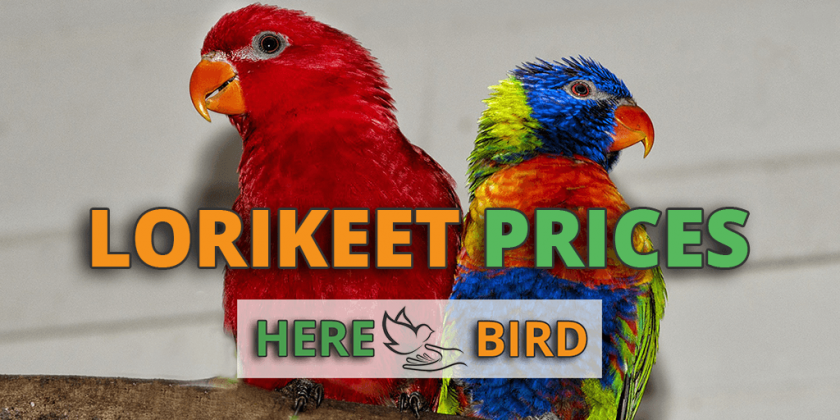 lorikeet-prices