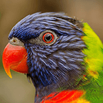 lorikeet lifespan