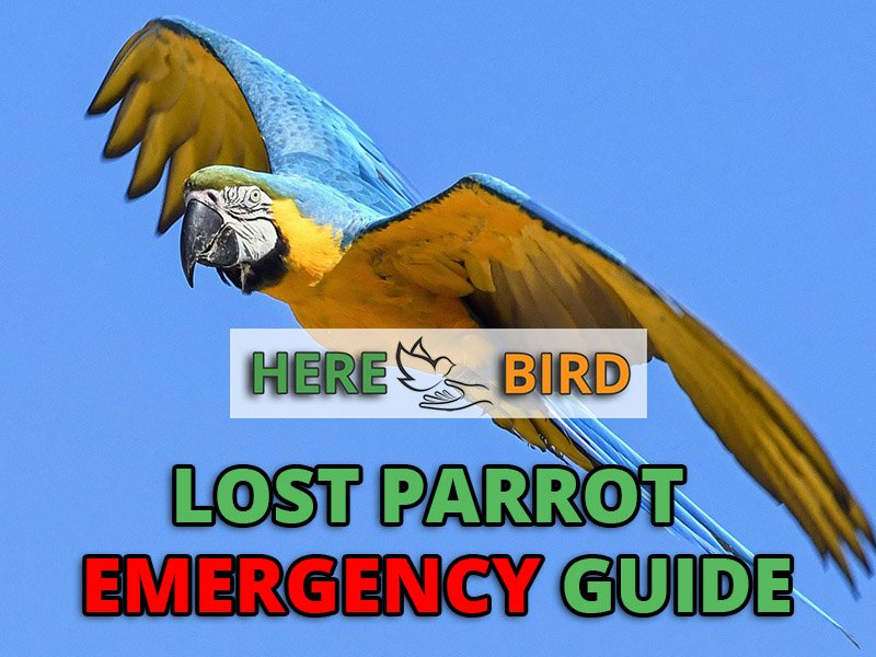 Lost Parrot Emergency Guide: How to Find and Catch an