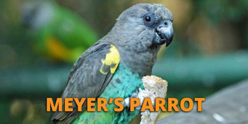 meyers parrot