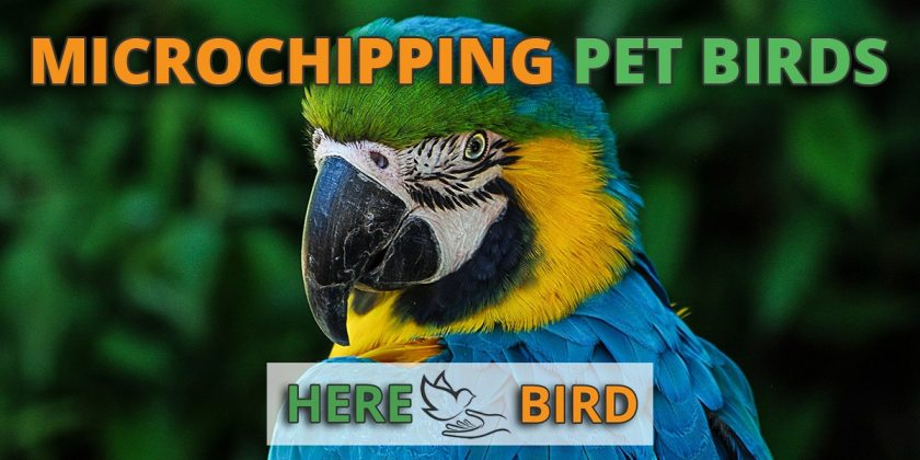 microchipping-pet-birds