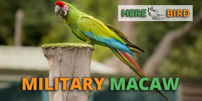 military-macaw-featured