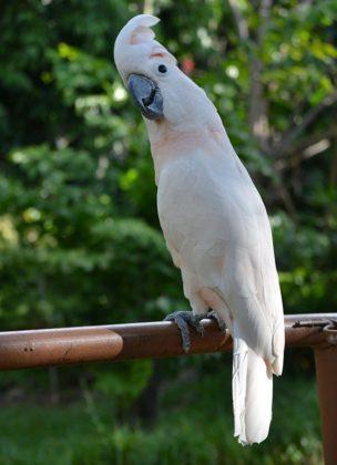 moluccan cockatoo 3