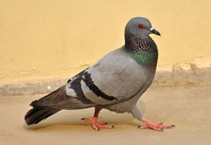 nazi-pigeon-walking