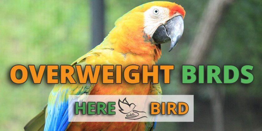 overweight-birds