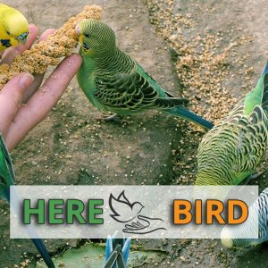 best-parakeet-food