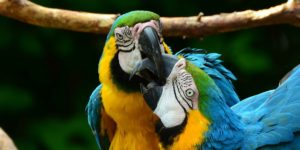 parrot-biting-each-other