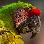 parrot-blushing