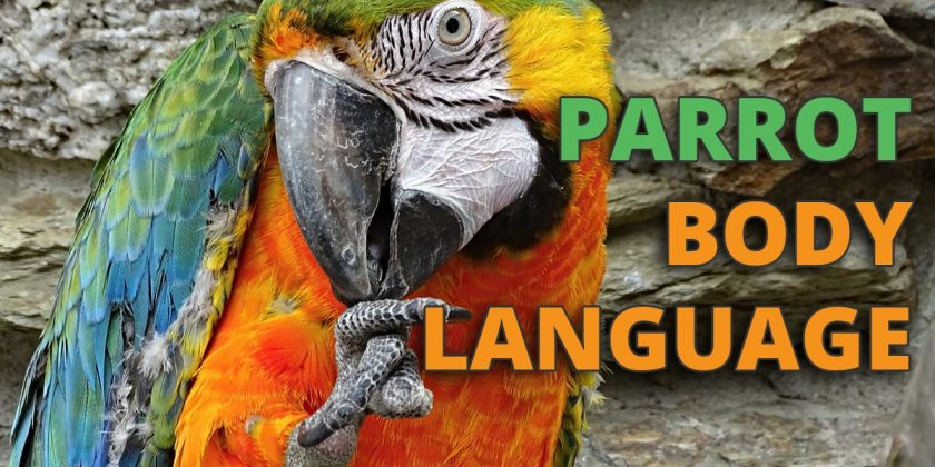 parrot body language