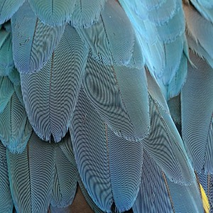 parrot-body-language-feathers