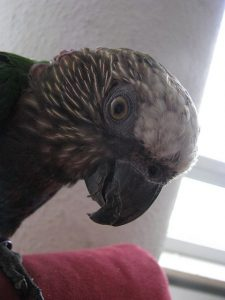 parrot moulting