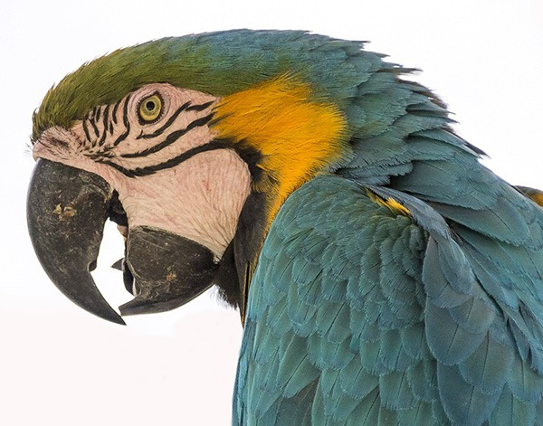 Parrot Sounds & Parrot Noises: The What, Why and How Of