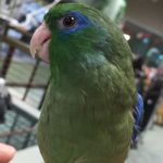 parrotlets-prices