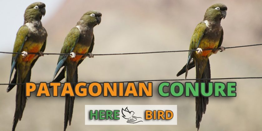 patagonian-conure-featured