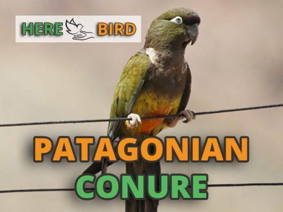 patagonian-conure-snippet