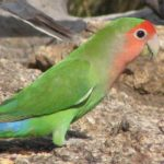 peach-faced-lovebird-lifespan