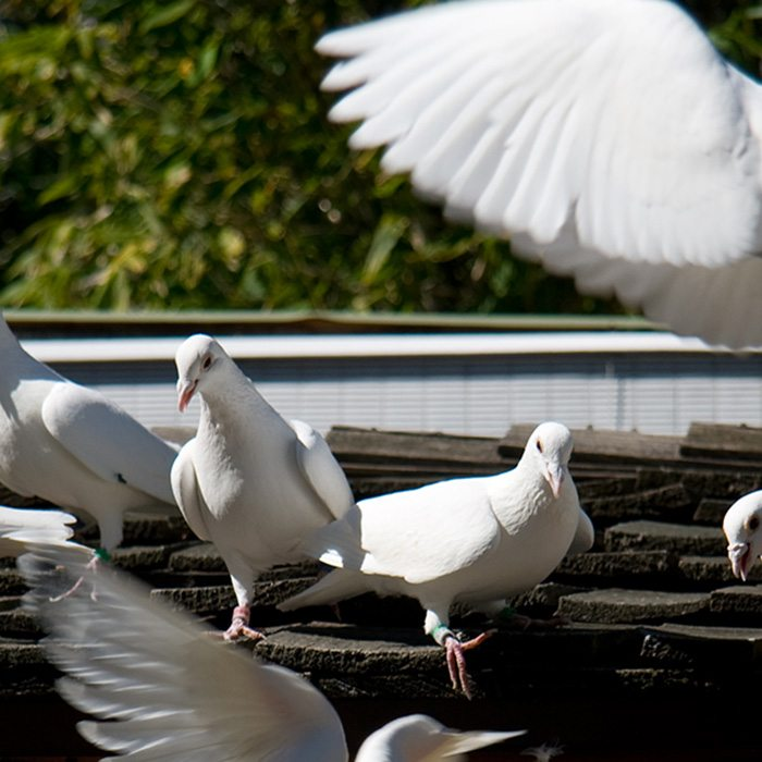 The Pigeon Loft: See Plans, Designs and Supplies for Pigeon