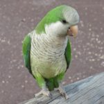 quaker parrot lifespan