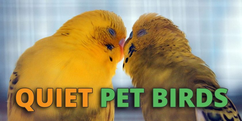 quiet pet birds