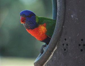 feral rainbow lorikeet