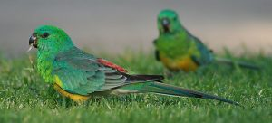 red rumped parakeet