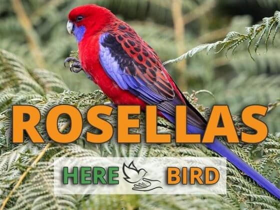 rosellas-snippet