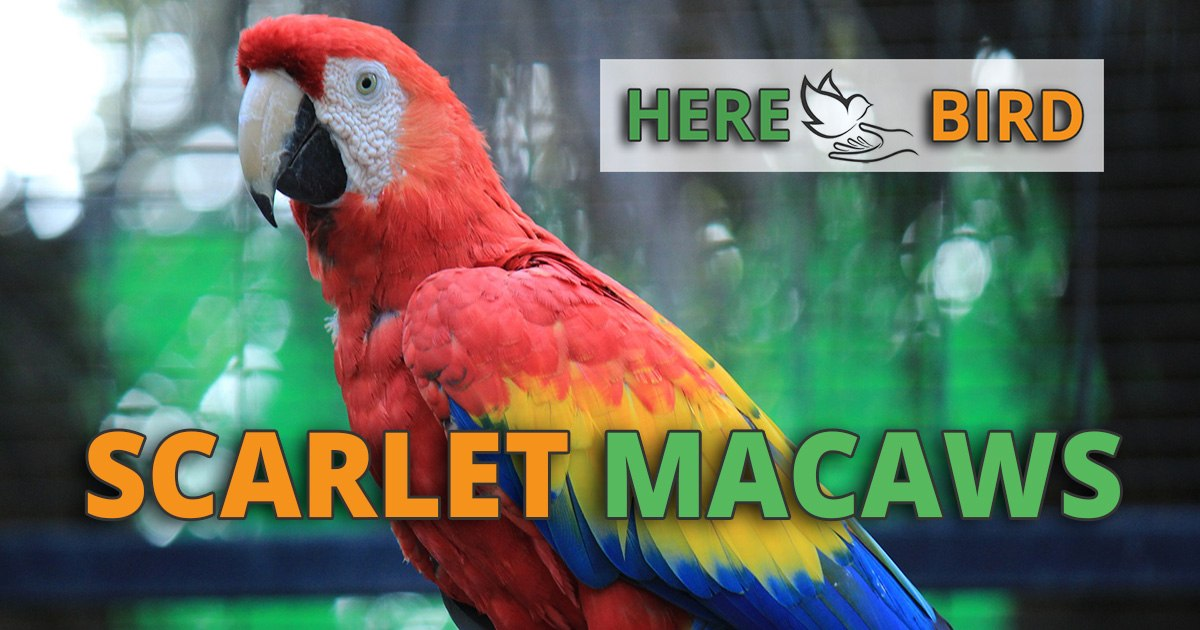 Caring for Scarlet Macaws: Health, Lifespan, Training & Prices