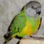 senegal parrot lifespan