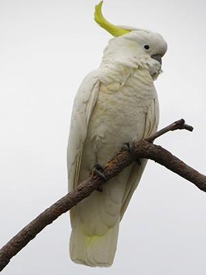 sulphur-crested-cockatoos-2