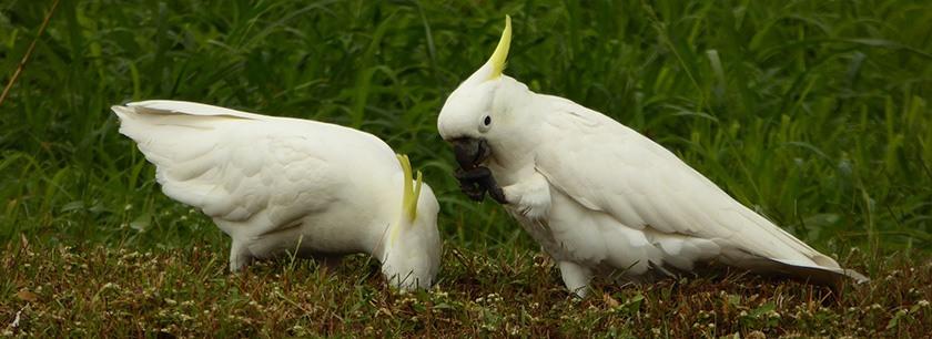 sulphur-crested-cockatoos-3