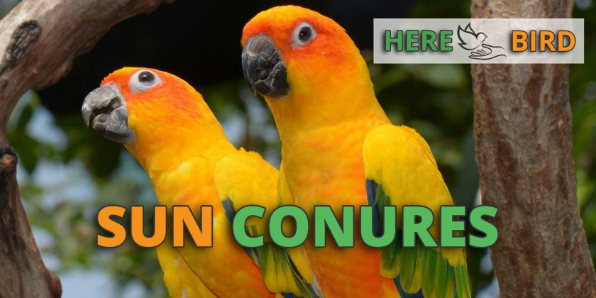 Sun Conure Price Guide: Find the real costs of these birds