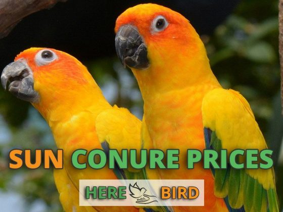 sun-conures-prices