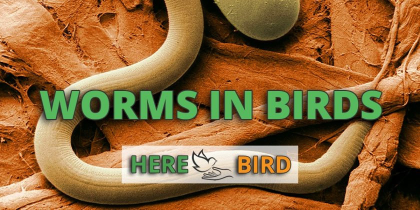 worms-in-birds