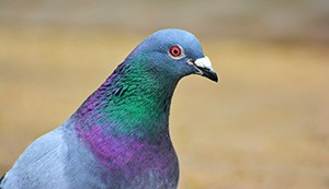 ww2-pigeon