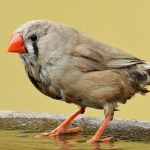 zebra finch lifespan